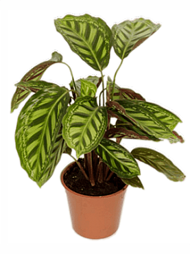Calathea flamestar D35xH55 cm Planta rugaciune