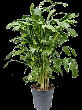 Caryota mitis D50xH140 cm Palmier coada de peste