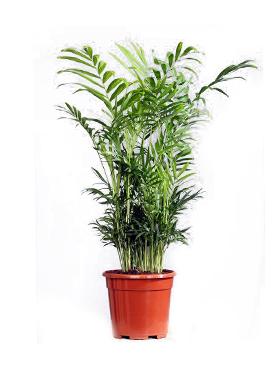 Chamaedorea elegans D30xH55 cm Bella palmier