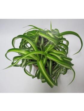 Chlorophytum bonnie D25xH20 cm Planta paianjen