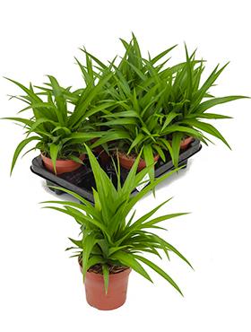 Chlorophytum lemon D30xH35 cm Planta paianjen