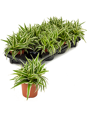 Chlorophytum ocean 15 cm Planta paianjen