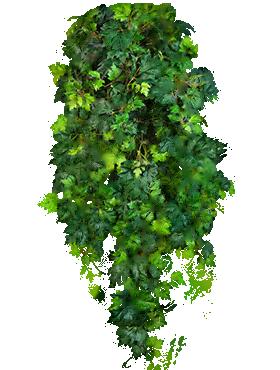 Cissus ellen danica 90 cm