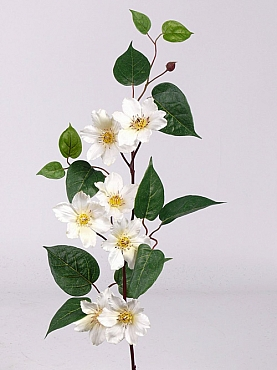 Clematis 80 cm alb