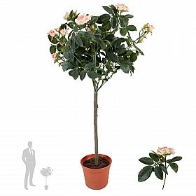 Copac trandafiri Diamond H67 cm roz