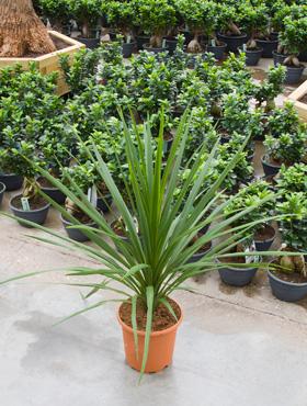 Cordyline australis 90 cm