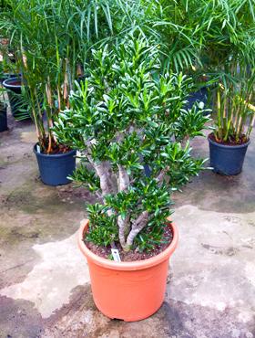 Crassula gollum D60xH110 cm Arborele de jad - Trompeta Jade