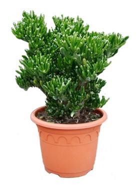 Crassula horntree D35xH60 cm Arborele de jad - Trompeta Jade