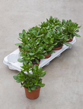Crassula ovata 22 cm Arborele de jad - Trompeta Jade