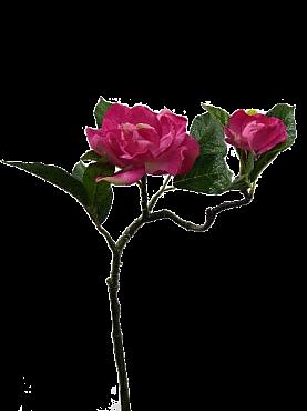 Crenguta cu flori de Camelia D8x35 cm HO fuchsia