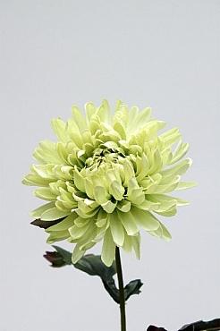 Crizantema D12xH60 cm HO verde