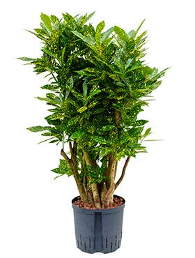 Croton (codiaeum) gold dust 110 cm Bonsai