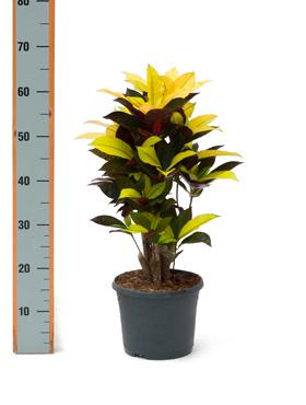 Croton (codiaeum) iceton 55 cm