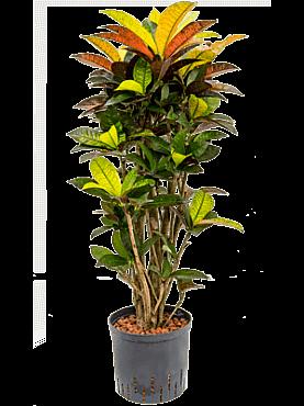 Croton (codiaeum) iceton D40xH90 cm