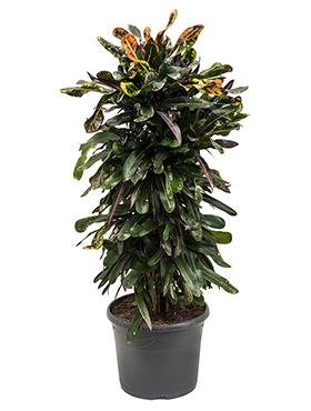 Croton (codiaeum) mamey 100 cm 95057