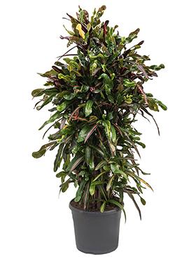 Croton (codiaeum) mamey 130 cm