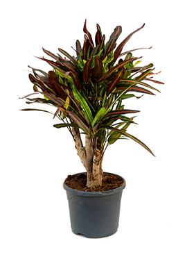Croton (codiaeum) mamey 60 cm
