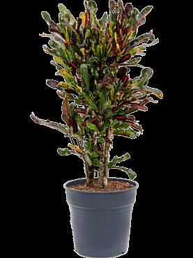 Croton (codiaeum) mamey D40xH90 cm