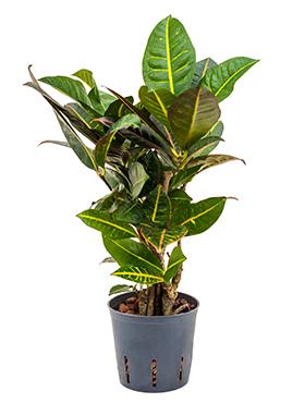 Croton (codiaeum) petra 40 cm 102786