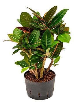 Croton (codiaeum) petra 60 cm 102394
