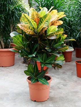 Croton (codiaeum) petra 80 cm 102888