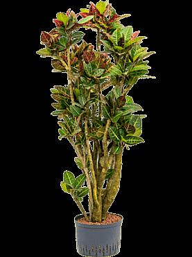 Croton (codiaeum) petra D65xH150 cm
