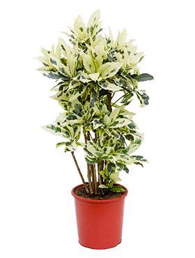 Croton (codiaeum) Tamara 100 cm
