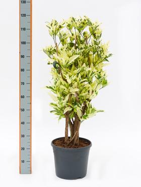 Croton (codiaeum) Tamara 120 cm