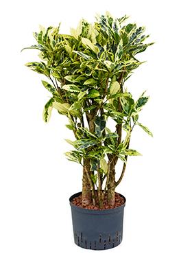 Croton (codiaeum) tamara in hydro H100 cm