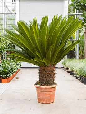 Cycas revoluta D150xH160 cm