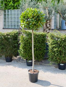 Dafin nobilis 60X170 cm Laurus nobilis - Dafin Grecian