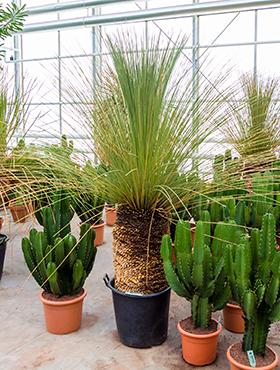 Dasylirion longissimum 200 cm Lingura verde a desertului - Sotol verde