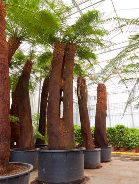 Dicksonia antartica 475 cm 76133 Feriga copac moale - Om feriga
