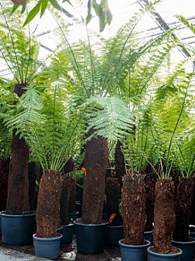 Dicksonia antartica D350xH400 cm Feriga copac moale - Om feriga