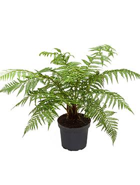 Dicksonia antartica D50xH70 cm Feriga copac moale - Om feriga