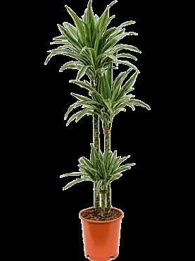Dracaena deremensis D40xH130 cm Copacul Dragon