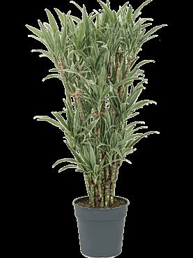 Dracaena deremensis D45xH130 cm Copacul Dragon