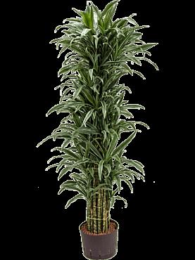 Dracaena deremensis D45xH170 cm Copacul Dragon