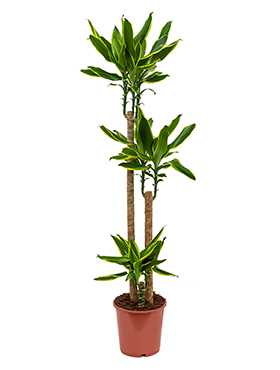 Dracaena golden coast 150 cm Copacul Dragon