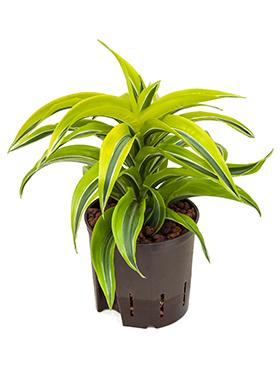 Dracaena lemon surprise D15xH25 cm Planta de porumb