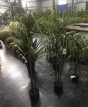 Dracaena marginata artificiala H105 cm