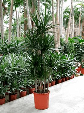 Dracaena marginata D45xH190 cm (8PP) Arborele Dragon - Dracaena rosii taisuri