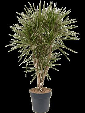Dracaena marginata D65xH130 cm