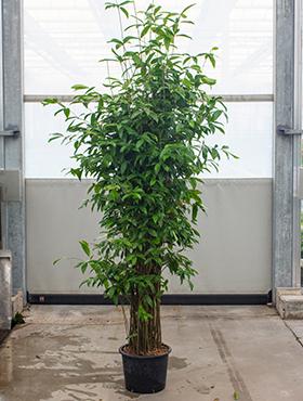 Dracaena surculosa 235 cm