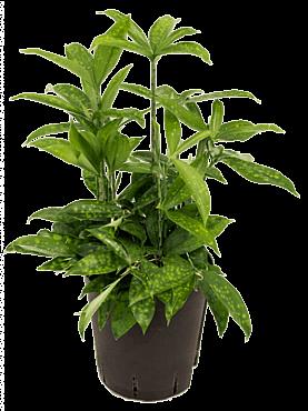 Dracaena surculosa D30xH65 cm Bambus japonez - Planta praf de aur