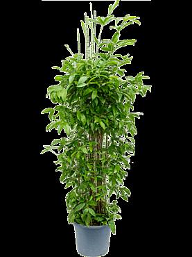 Dracaena surculosa D55xH170 cm Bambus japonez - Planta praf de aur