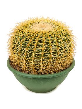 Echinocactus grusonii 30x35 cm verde Cactus -Balonul de Aur - Golden Barrel Cactus