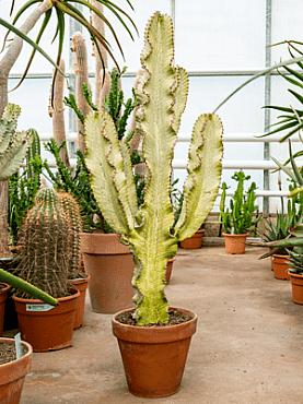 Euphorbia ingens marmorata D50xH130 cm Copacul candelabru - Cactus copac