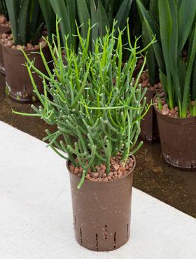Euphorbia tirucalli 45 cm Planta creion - Euphorbia-cauciuc gard viu