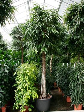 Ficus alii 400 cm